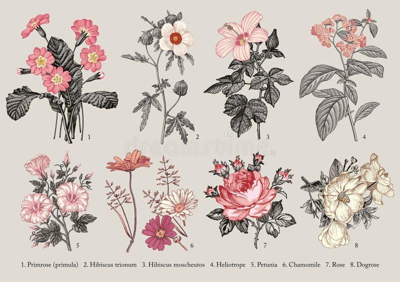 Namen de plantkunde Vastgestelde bloemen die van de de Hibiscusheliotroop van de gravure Vector victorian Illustratie Sleutelbloe stock illustratie