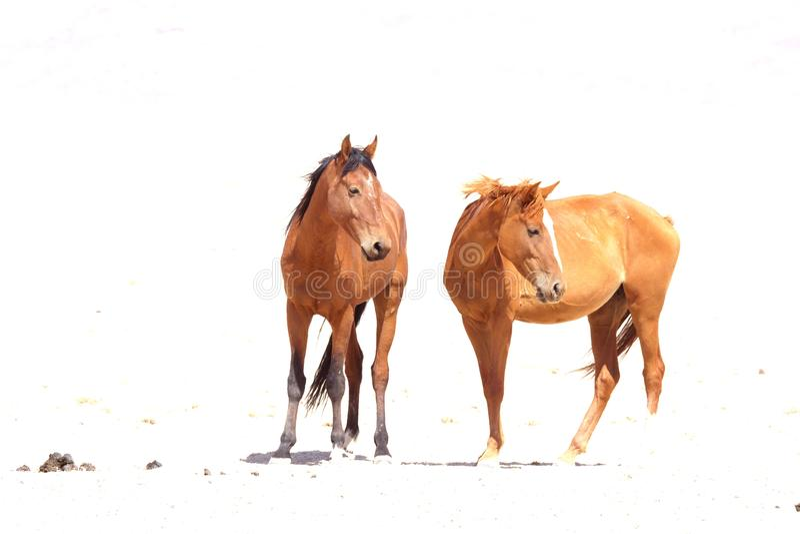 Namib 2的野马 免版税库存图片