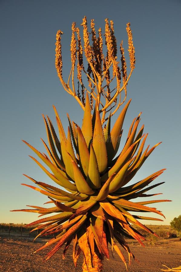 Namiba: Завод пустыни Веры алоэ в Kalahari стоковое фото rf