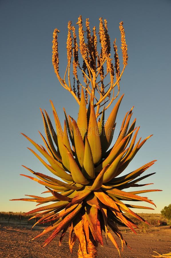 Namiba: Aloe Vera desert plant in the Kalahari. Namiba: A huge Aloe Vera desert plant in the Kalahari is flowering royalty free stock photo