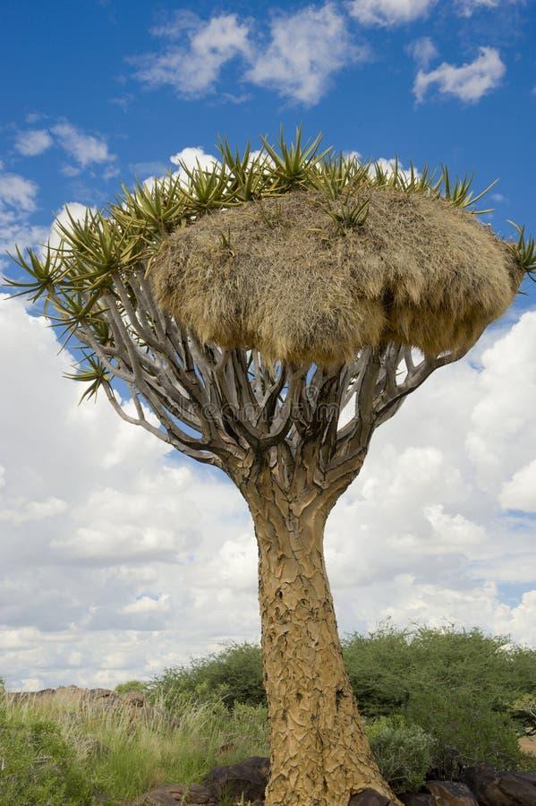 Namibia, árbol del estremecimiento con la jerarquía del ` s del pájaro, Keetmanshoop, Namibia del sur imágenes de archivo libres de regalías