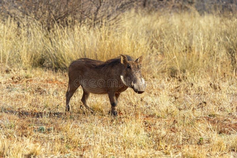 Namibia, Africa. Okonjima Reserve. Namibia, Africa. Warthog at Okonjima reserve stock image