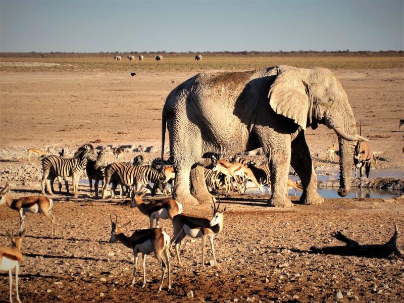 Namibia, Etosha Pan, Elephant and other animals drinking water. Vibrant waterhole in Etosha Pan, divers animals gathering around waterhole before sunset royalty free stock photography