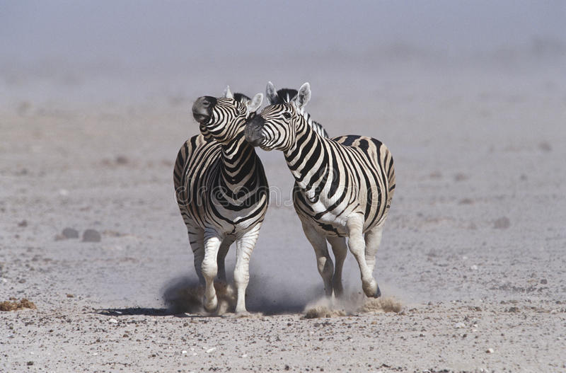 Namibia Etosha Pan two Burchell's Zebras running side by side royalty free stock photos