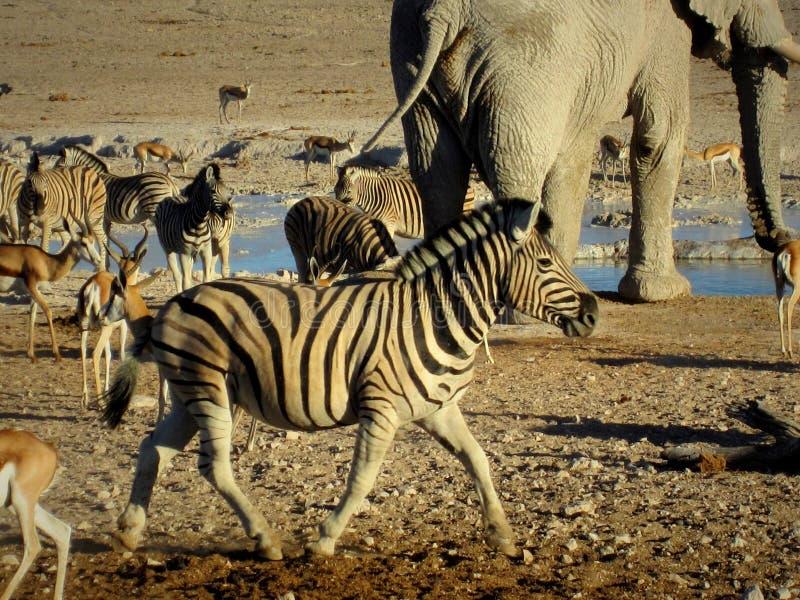 Namibia, Etosha panna, elefant och annat djurdricksvatten med sebran i förgrunden arkivbilder