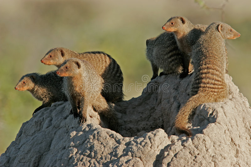 namibia för etoshafamiljmungor nationalpark royaltyfri fotografi