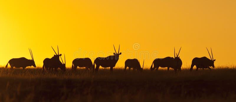 Namibia - Gemsbok en la puesta del sol foto de archivo libre de regalías