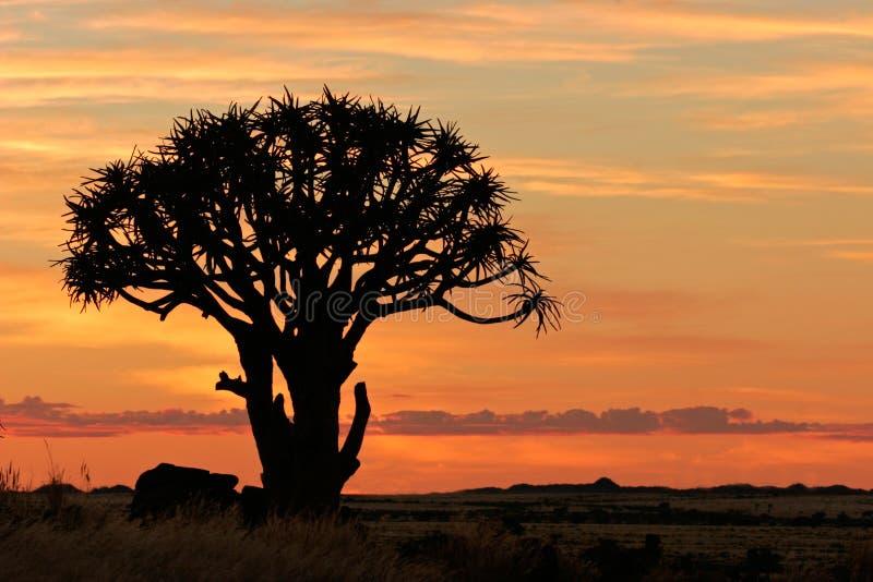 Namibia kołczanu sylwetki afryce południowej drzewa obraz stock