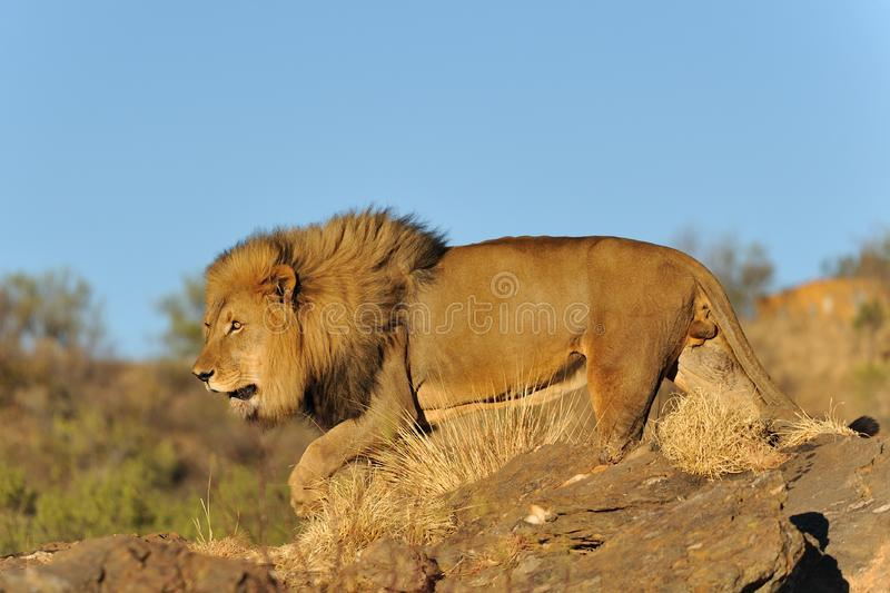Download Namibia - Lion at sunset stock photo. Image of reserve - 14322314