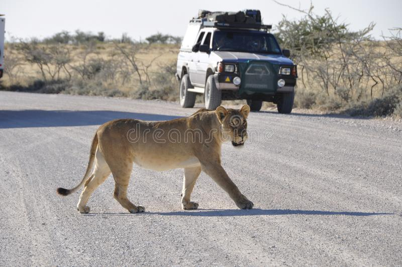 Namibia: Lioness walking over the gravel road in Etosha. Namibia: A Lioness is walking over the gravel road in Etosha Nationalpark in front of the safari-cars stock photos