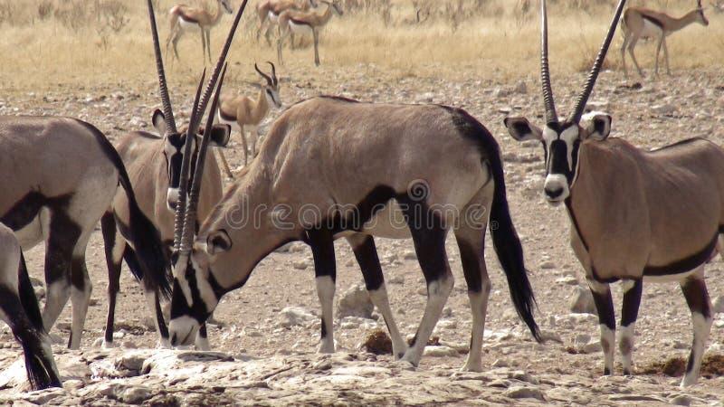 Namibia, parque de Etosha foto de archivo libre de regalías