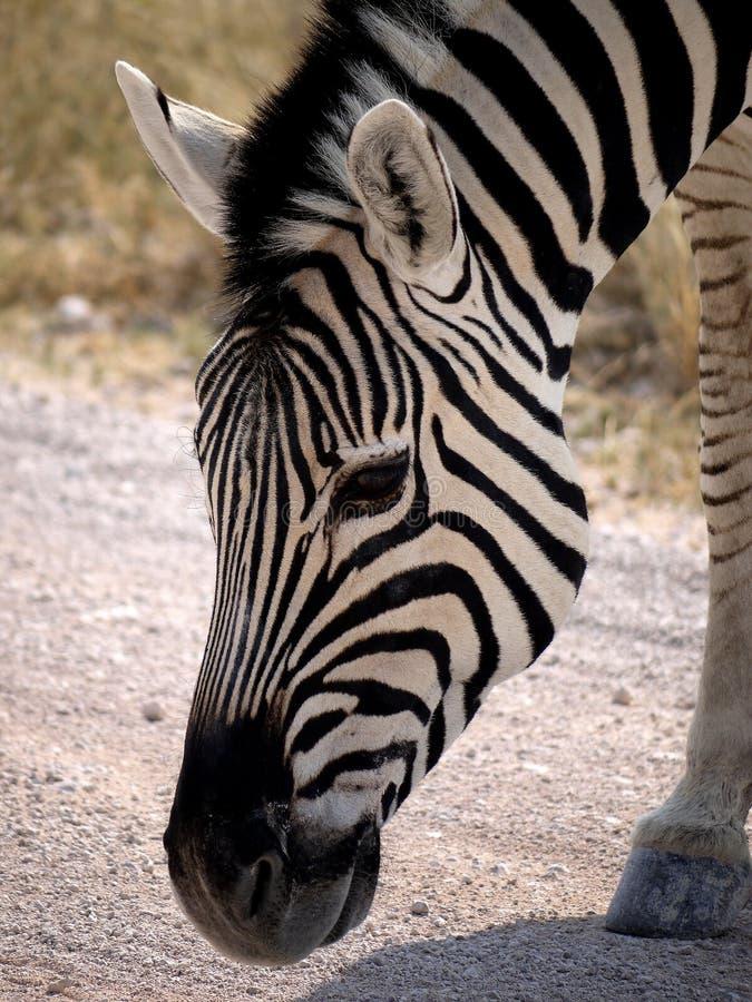 Namibia, parque de Etosha, foto de archivo libre de regalías