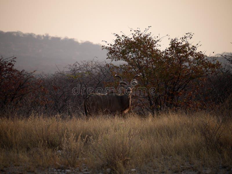 Namibia, parque de Etosha, imagen de archivo libre de regalías