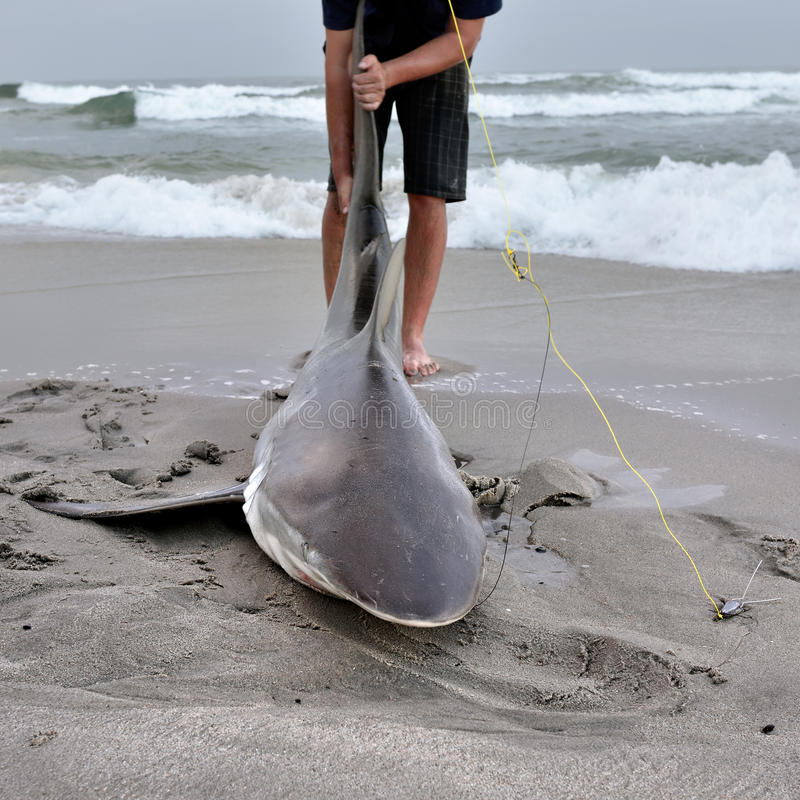 Namibia, shark fishing. Fisherman caught the big copper shark on the beach at twilight. A tag and release fishing is popular in Namibia stock image