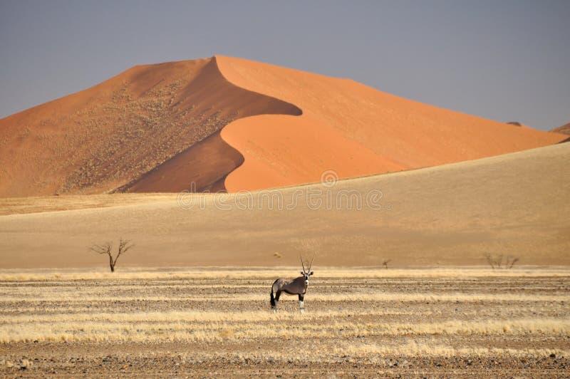 Namibia-Wüste - Oryx lizenzfreie stockfotografie