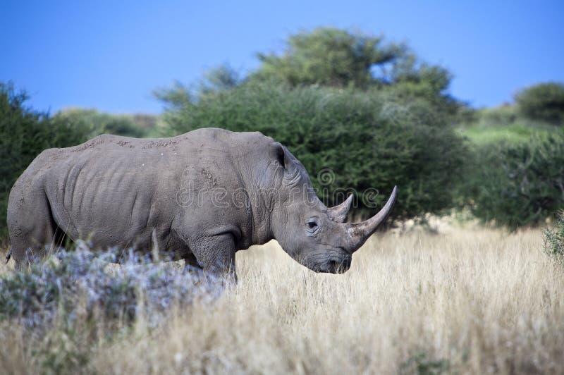 Namibia. White rhinoceros ( ceratotherium simum) inMount Etjo reserve royalty free stock image