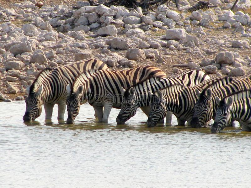 Namibia zebras drinking stock photo