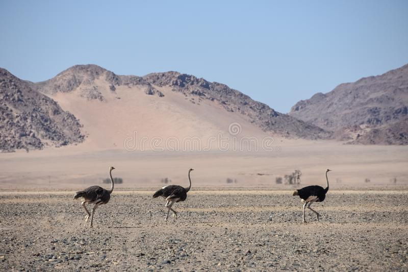 Sossusvlei - Ostrich`s running - Namibia - 2017 stock photos