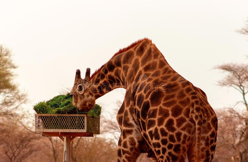 Namibian giraffe in the African savannah eats green grass on a sunny day. Wild african animals. Namibian giraffe in the African savannah eats green grass on a stock image