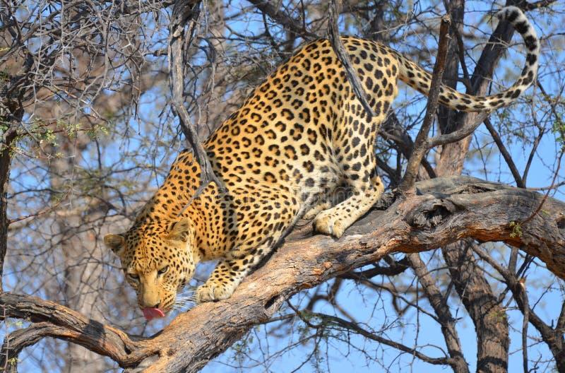Namibian Leopard royalty free stock image