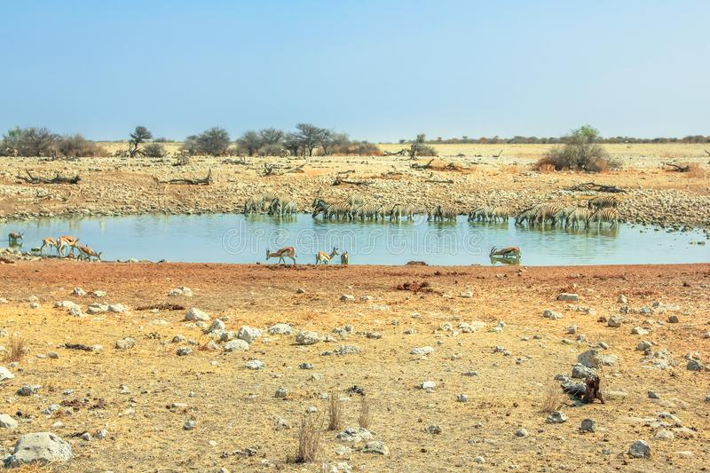 Etosha Okaukuejo Namibian savannah. Namibian savannah of Etosha Okaukuejo waterhole of Etosha National Park in Namibia. Blue sky, copy space stock photos