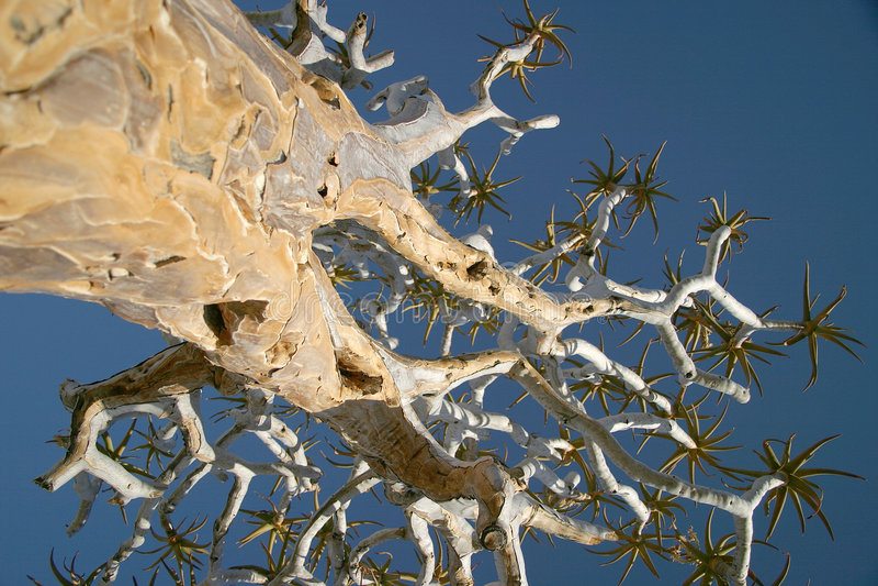 namibian tree royaltyfri foto