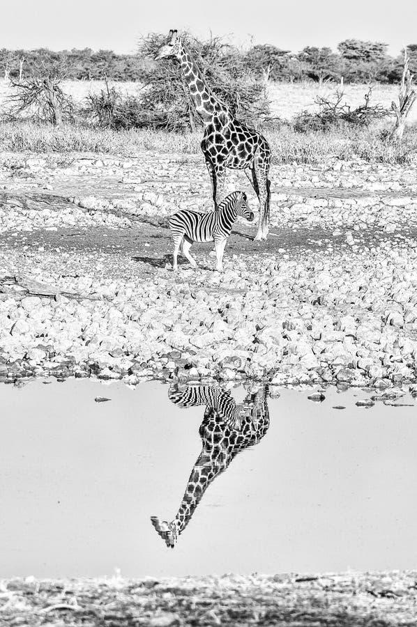 Namibijska żyrafa i Burchells zebra z odbiciami w wodzie monochrom obrazy royalty free