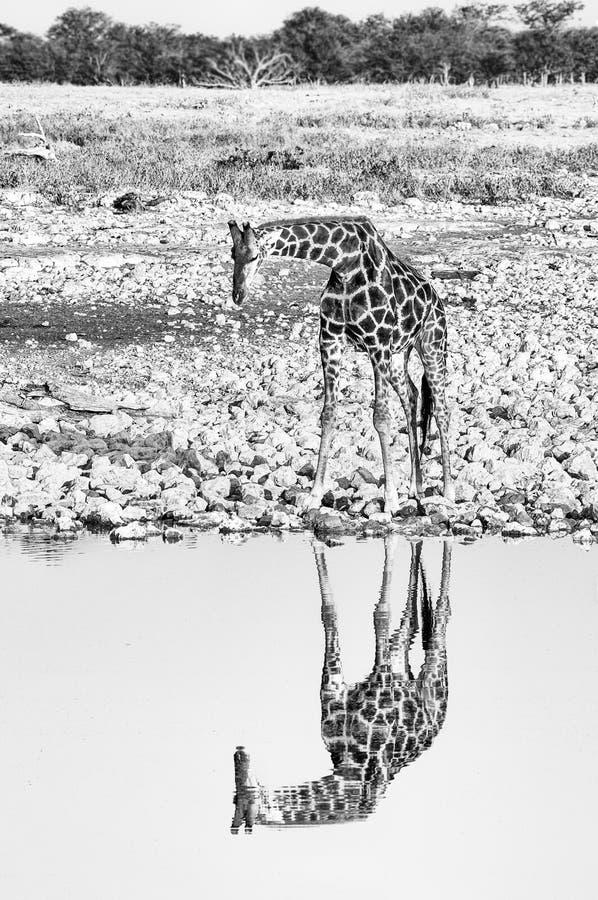 Namibijska żyrafa przy waterhole z odbiciem widocznym monochrom obraz stock