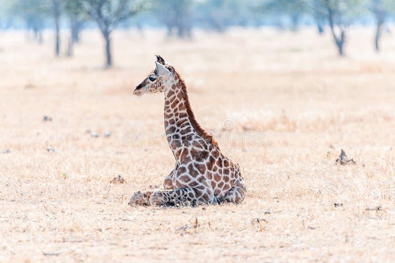 Namibijski żyrafy lying on the beach na trawie obraz stock