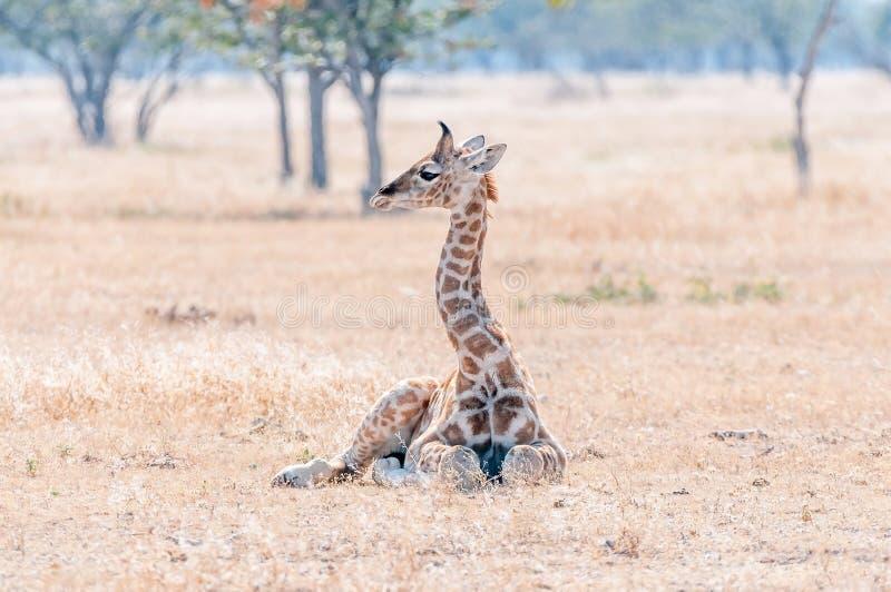 Namibijski żyrafy lying on the beach na trawie fotografia stock
