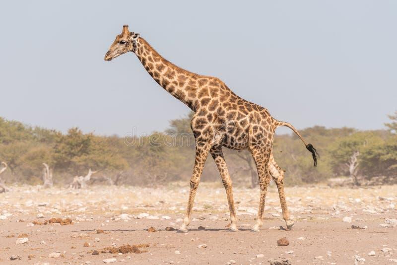 Namibijski żyrafy odprowadzenie i pooing zdjęcie royalty free