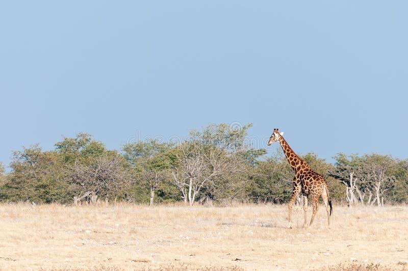 Namibijski żyrafy odprowadzenie przeciw tłu mopani drzewa obraz royalty free