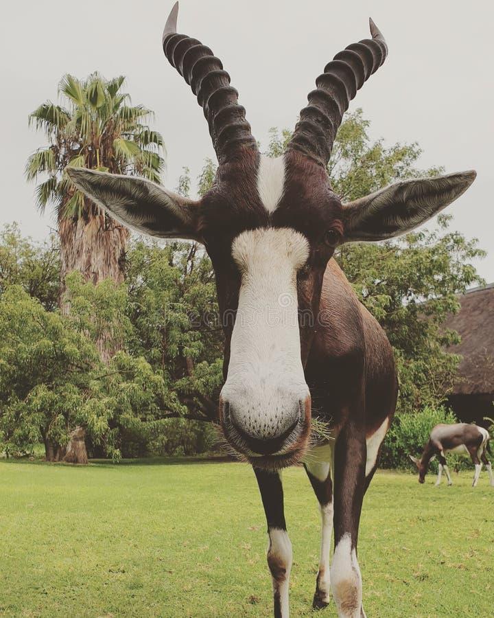 Namibische antilope Rode haarbeest stock foto's