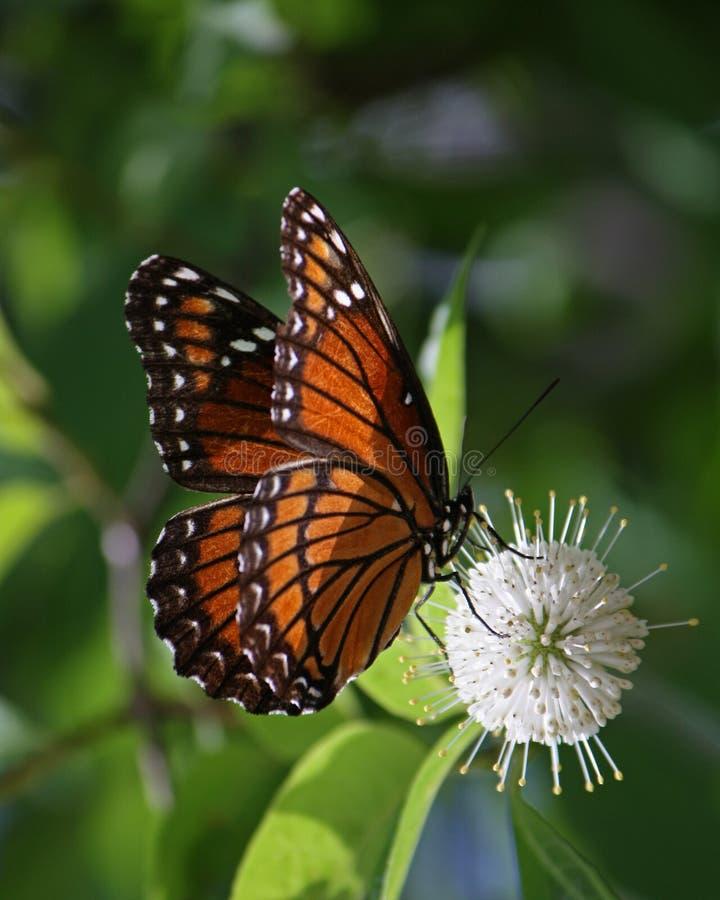 Namiestnika motyl Zapyla guzika Bush kwiatu fotografia stock