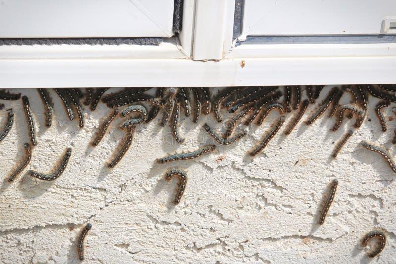 Namiotowe gąsienicy wspinają się w górę okno pod podczas infestation obraz royalty free
