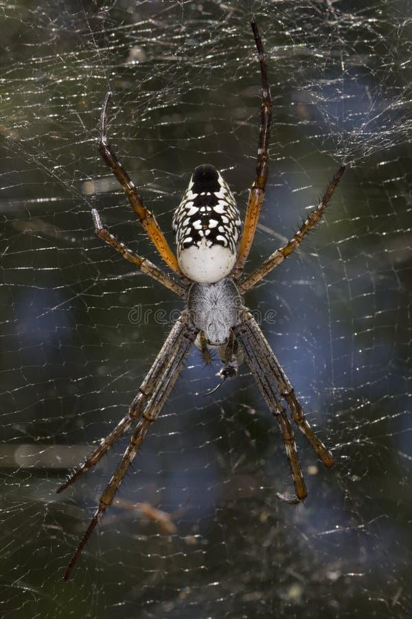 Namiotowy pająk - Cyrtophora moluccensis zdjęcie royalty free