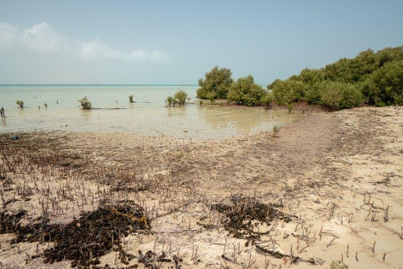 Namorzynowy las na unspoiled Farasan wyspie w Jizan prowincji, Arabia Saudyjska zdjęcie royalty free