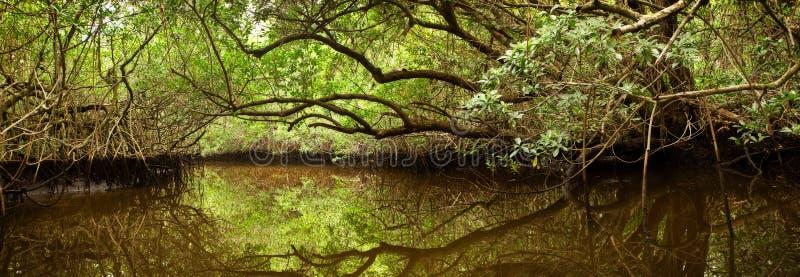 Namorzynowy las w Floryda błotach obraz royalty free