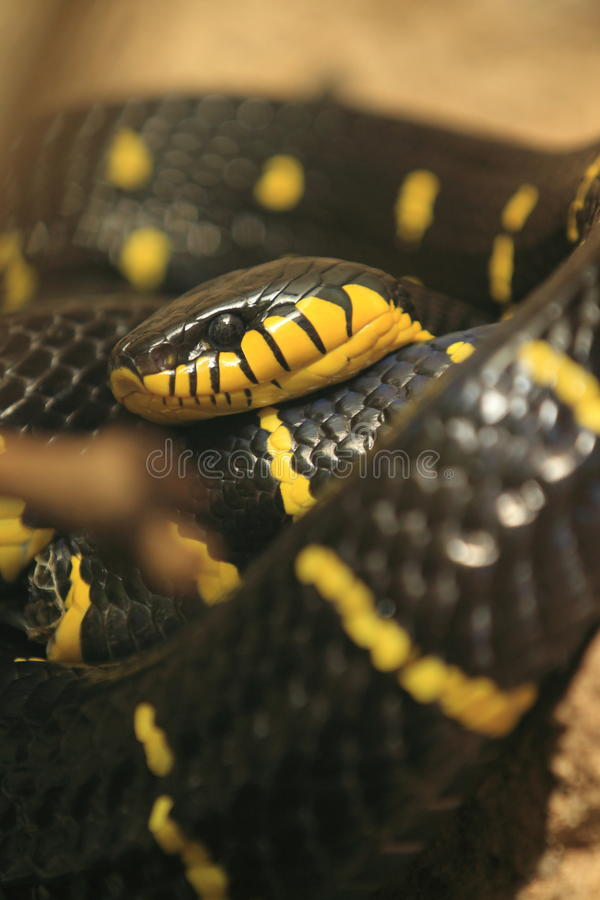 Namorzynowy wąż fotografia stock