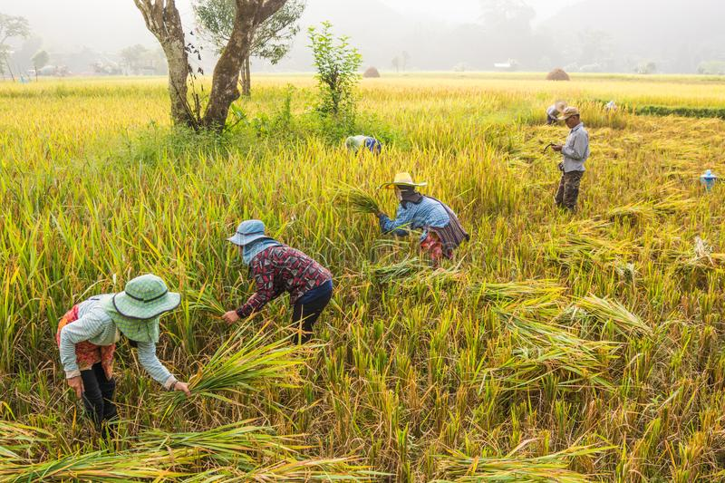 Nan,Thailand - October 10,2018 : Unidentified Thai farmers are harvest in the rice field at Baan Sapan ,Nan,Thailand stock images