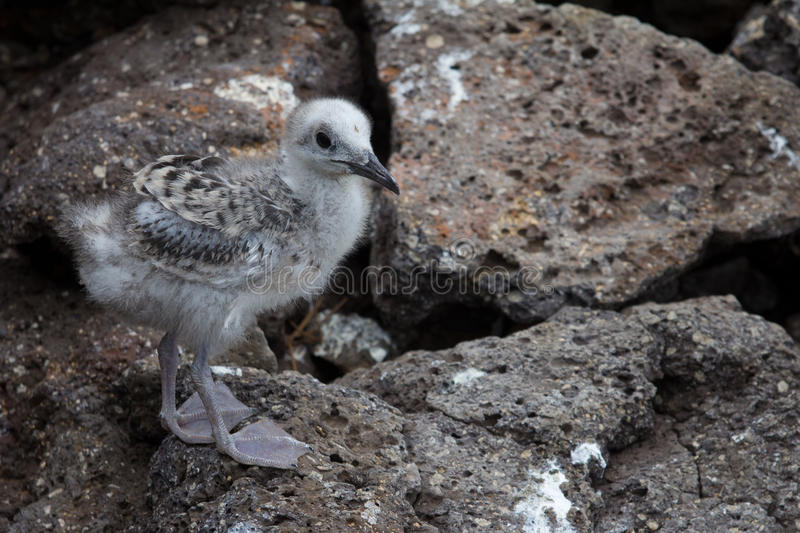 Nana Swallow-tailed de mouette images stock