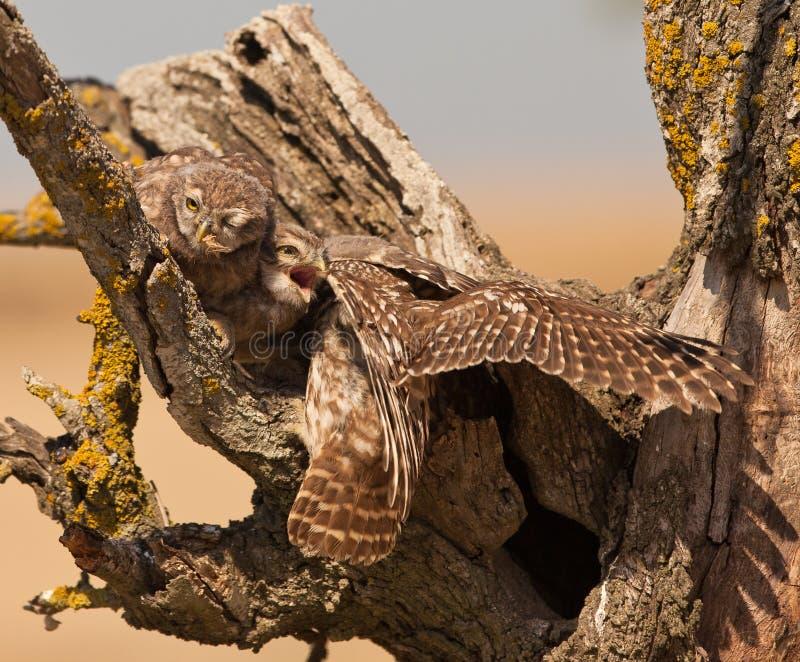 Nanas alimentantes d'it´s de petit hibou photos libres de droits