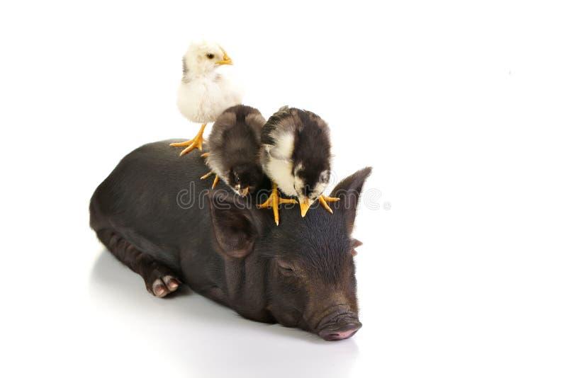 Nanas sur le porc photographie stock libre de droits
