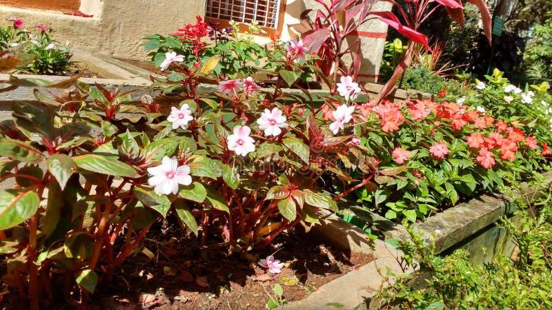 Nandi hills garden beautiful flowers Lilly& x27;s stock photo