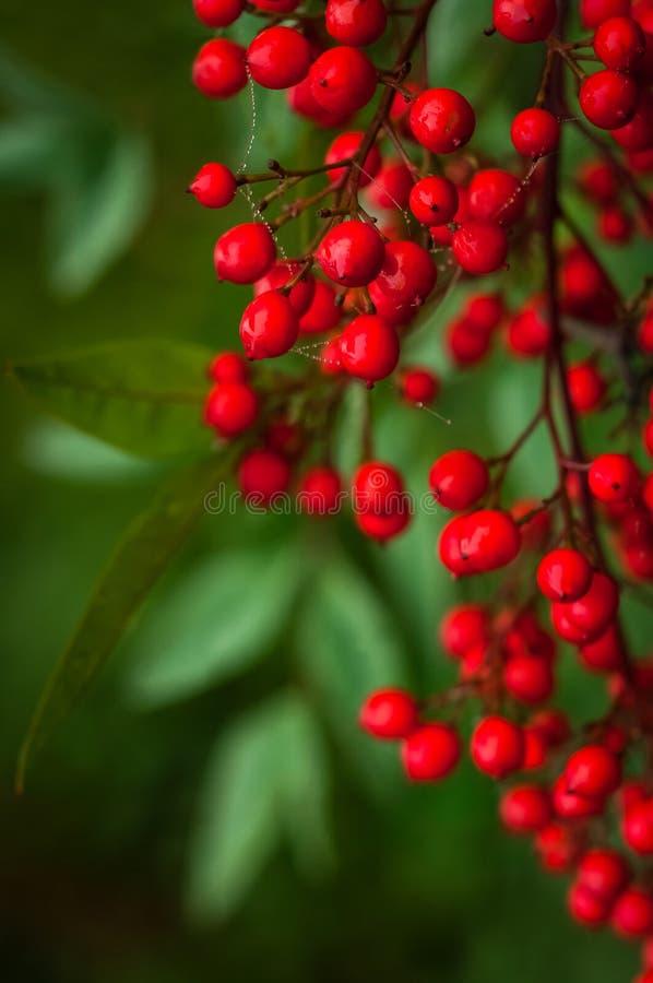 Nandina domestica。日本神圣的竹子红色莓果  免版税库存图片