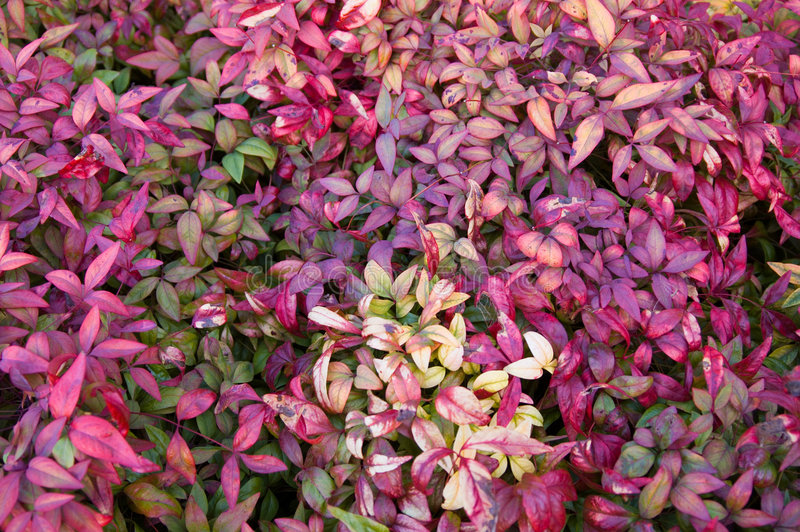 Nandina Foliage stock image