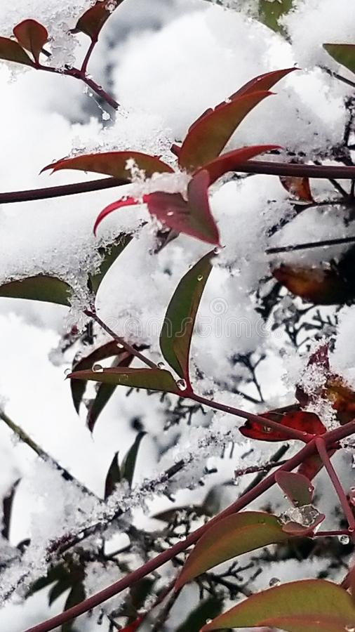 Nandina liście w śniegu zdjęcie stock