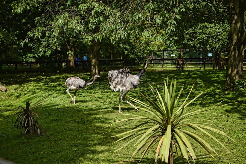 Nandoes in Vogeltuin bij Mooi Buitenhuis dichtbij Leeds West-Yorkshire dat geen Nationaal Vertrouwen is stock foto