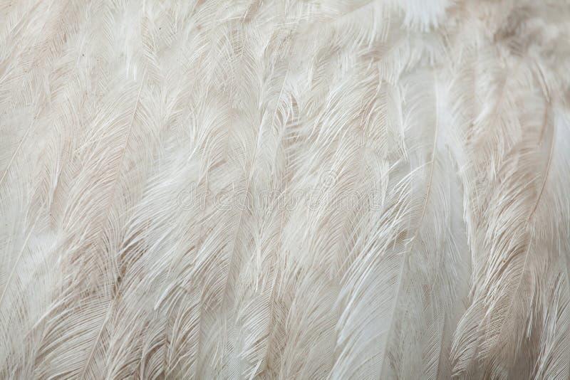 Nandu Rhea Americana Gefiederbeschaffenheit stockbilder