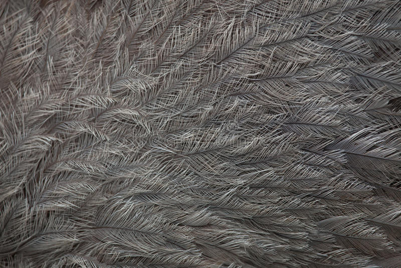 Nandu Rhea Americana Gefiederbeschaffenheit stockfoto